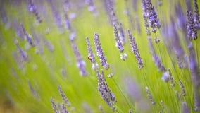 淡紫色丛生在日落的特写镜头 免版税库存照片