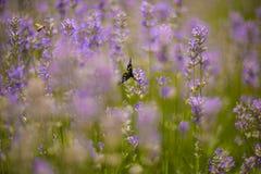 淡紫色丛生在日落的特写镜头 图库摄影