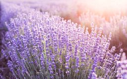 淡紫色丛生特写镜头 库存照片
