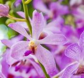 淡紫色兜兰兰花 库存图片