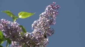 淡紫色分支在一个晴朗的晴天 股票视频