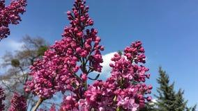淡紫色分支在庭院里 股票视频