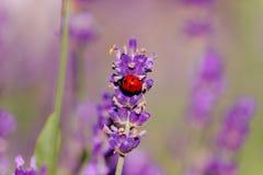 淡紫色和瓢虫在阳光下 免版税库存图片