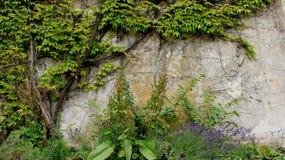 淡紫色和老墙壁有绿色叶子的 免版税库存照片