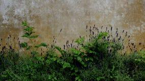 淡紫色和老墙壁 库存照片