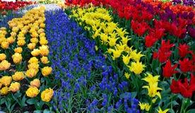 淡紫色和黄色郁金香 免版税库存照片
