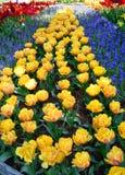 淡紫色和黄色郁金香 库存照片