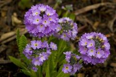淡紫色在庭院里在早期的春天上色了提供颜色的爆炸四季不断的樱草属Denticulata花 免版税库存照片