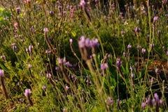 淡紫色在日落领域关闭的灌木特写镜头 开花 星期日 库存照片
