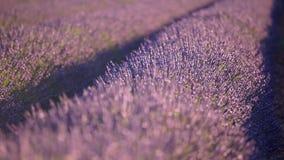 淡紫色在普罗旺斯,法国 股票视频