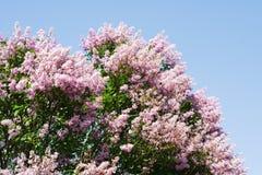 淡紫色壮观的结构树 免版税库存图片