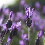 淡紫色孤立茎  库存图片
