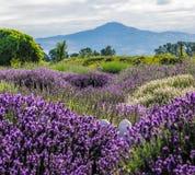 淡紫色庭院 库存图片