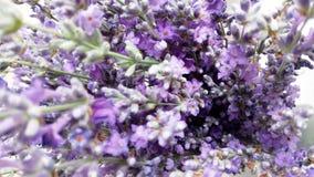 淡紫色开花与被弄脏的background_1的特写镜头 免版税库存图片
