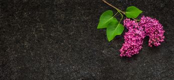 淡紫色开花在古色古香的布朗花岗岩工作台面分支 库存照片