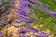 淡紫色开花 橙色土壤 背景 免版税库存照片