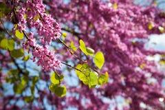 淡紫色春天结构树 库存图片