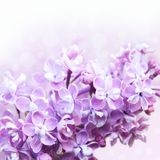 淡紫色春天 库存照片