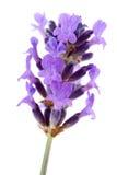淡紫色普罗旺斯 免版税库存照片