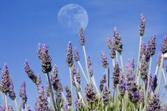 淡紫色月亮 免版税库存照片