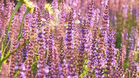淡紫色植物在夏天增长 股票视频