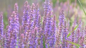 淡紫色植物在夏天增长 影视素材