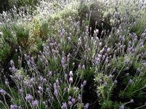 淡紫色灌木在公园 库存照片