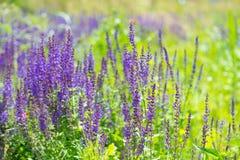 淡紫色灌木在庭院里 免版税库存照片