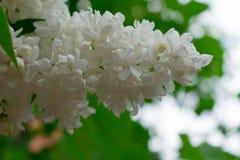 淡紫色灌木白色品种 与精美花花束的春天风景  库存照片