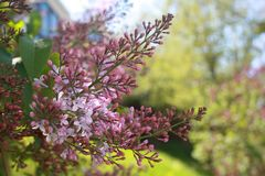 淡紫色特写镜头 杜娟花开花浅关闭dof的花出现 在绿色背景的淡紫色花 免版税库存照片