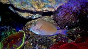 淡紫色特性叶形装饰板nigrofuscus 库存图片