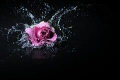 淡紫色玫瑰飞溅 免版税库存照片