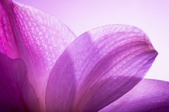 淡紫色瓣 免版税库存图片