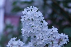 淡紫色白色 免版税图库摄影