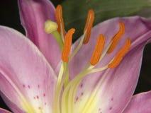 淡紫色百合 库存图片