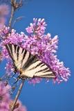淡紫色的蝶粉花 图库摄影