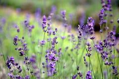 淡紫色的领域在Stanstead 库存图片