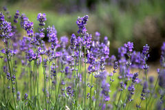 淡紫色的领域在Stanstead 免版税库存照片