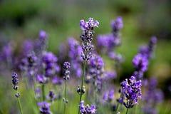 淡紫色的领域在Stanstead 免版税库存图片