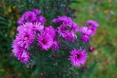 淡紫色秋天花,软的焦点 明亮的秋天花背景 紫色翠菊绽放,蓝色花 图库摄影