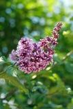 淡紫色紫色枝杈 免版税库存照片