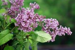 淡紫色紫色枝杈 免版税库存图片