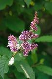 淡紫色紫色枝杈 库存图片