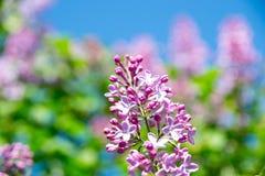 淡紫色紫色 库存照片