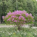 淡紫色结构树 图库摄影