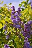 淡紫色结构树 免版税库存照片