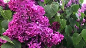 淡紫色绽放在一好日子