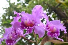 淡紫色色的热带兰花 免版税库存图片