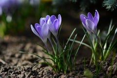 淡紫色花在春天庭院 春天晴天 免版税库存图片