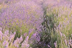 淡紫色花开花 花的紫色领域 嫩淡紫色花 免版税图库摄影
